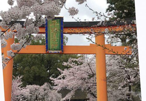 平野神社 桜最高に見頃 石川つづれ近く